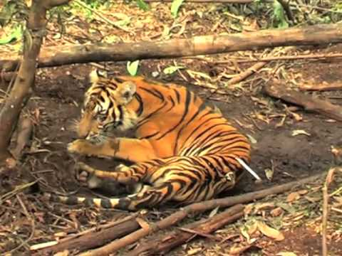 Endangered Sumatran tiger dies in trap on APP concession in Indonesia