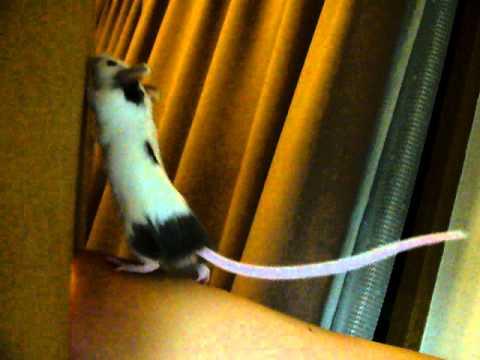 ハツカネズミの画像 p1_33