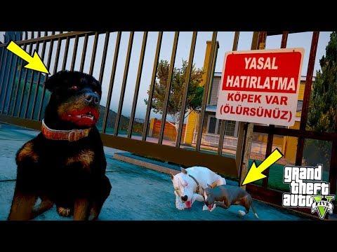 EĞİTİMLİ ROTTWEILER TEK BAŞINA 2 PİTBULLA DÖVÜŞÜYOR! - GTA 5
