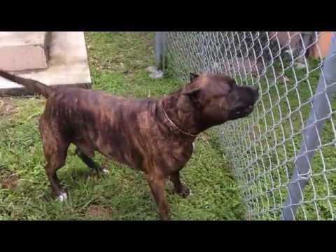 pitbull barking at puppie
