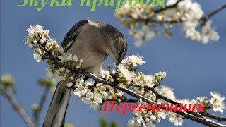 Звуки природы ♪ Голоса птиц для детей ♪ Пересмешник
