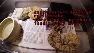 Crotalus mitchellii pyrrhus (southwestern speckled rattlesnake)