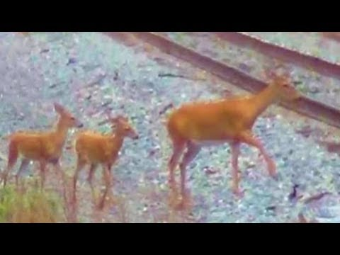 Mother Deer and Baby Deer Killed by a Train