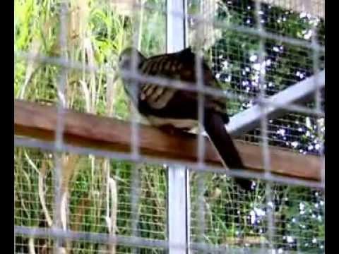 เสียงนกเขาชวา เสียงใหญ่@ B.Y.FARM