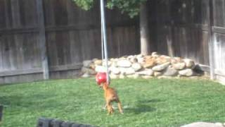 Keeping a Boxer Puppy Entertained - Tether Ball!