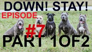 episode 7 dog puppy training the down stay obedience fundamentals pit bull trained