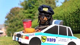 Dachshund High-Speed Police Chase!