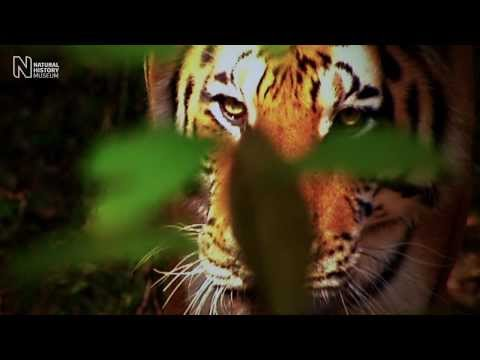 Tiger conservation breeding | Natural History Museum