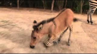 Raw: Rare Baby Zonkey Born in Mexico Zoo