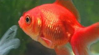 How To Care For A Goldfish