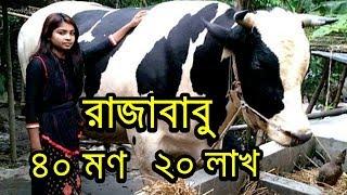 ১৫৬০ কেজির বৃহৎ গরু 'রাজা বাবু' উঠেছে কোরবানির হাটে ! Raja Babu   Today Bangla News