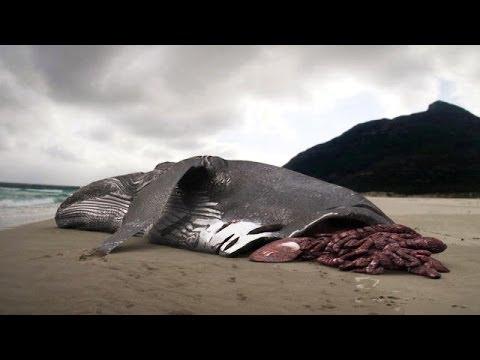 200 Ton Whale Eaten by Megalodon Shark?!? - YouTube
