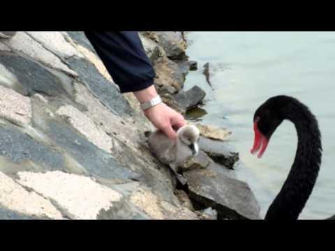 Baby Black Swan