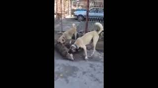 Turkish Kangal dogs and wolf...