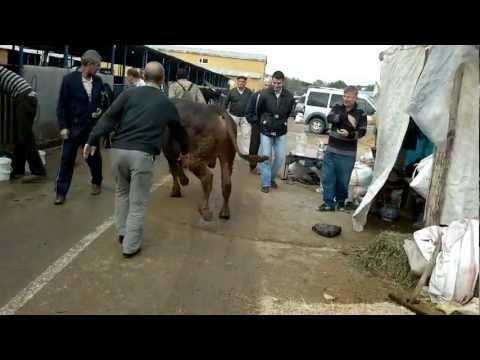 2012 Kurban Bayramı - Alaattinbey Kurban Pazarı - Celiller Ailesi