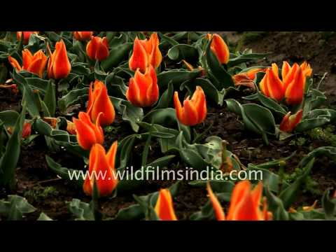 European Tulip garden in India's Srinagar valley