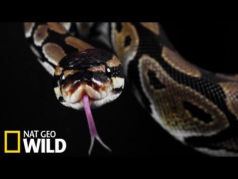 Un python avale un alligator vivant