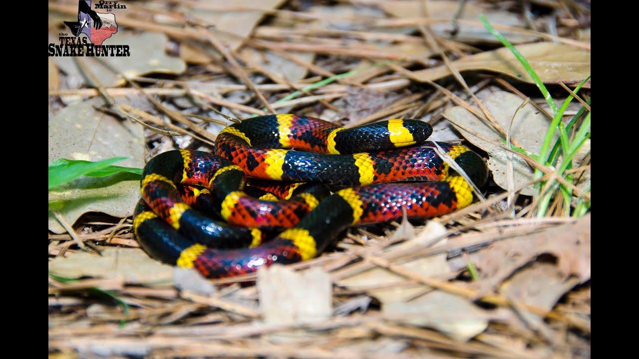 Snake Rhyme For Coral Snake Coral Snake vs Milksnake