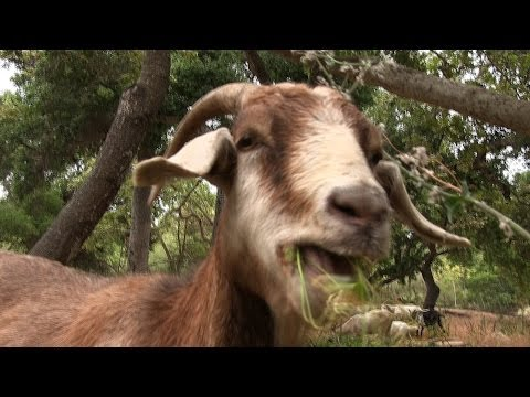 The Goat Brigade: Preventing Wildfires in Southern California (feat. GoatPro)
