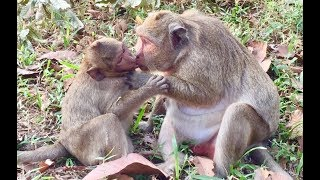 Sweat pea fat baby monkey not give up milk and popeye still nurse him