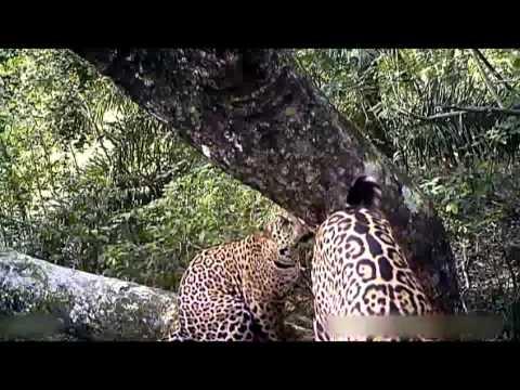 Doku Tiere 2015 - Das Leben des Jaguars [Dokumentation Tiere 2015]