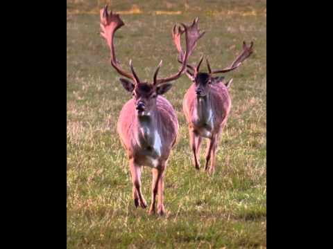 Deer Deers Deer Facts Facts About Deers