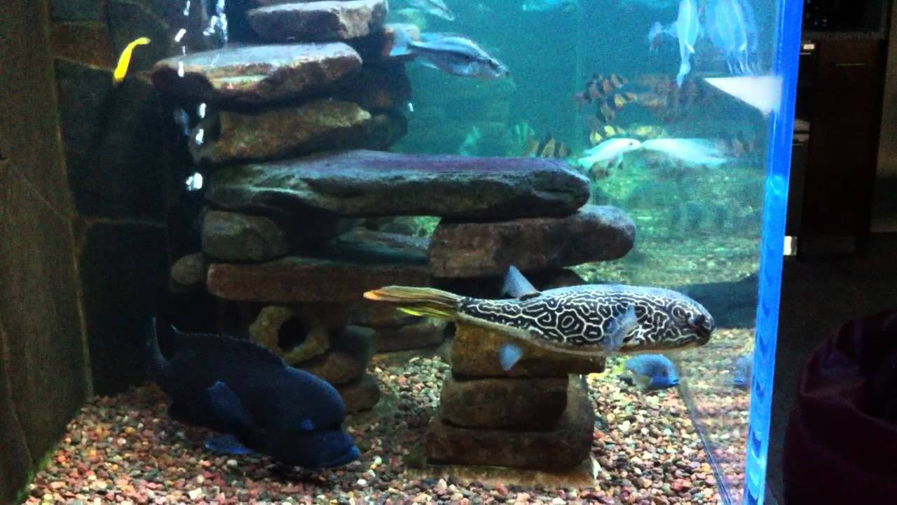 African Cichlid Tank Mbu Puffer With Clown Loaches Youtube