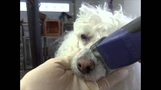 "How to Shave a Poodle Face starring ""Lucky"""