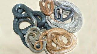 Video clip Thế Giới Bí Ẩn - Top 5 Loài Rắn Độc Nhất Thế Giới