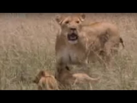 Wild lion feeds her cute baby animals a warthog snack for the first time  - BBC wildlife