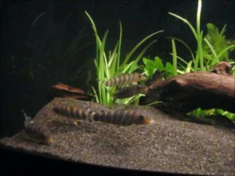 Header of bengal loach