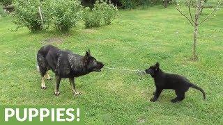 German Shepherd puppy plays tug-of-war with dad