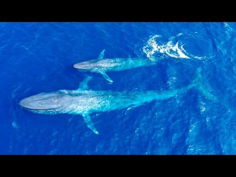 First Ever Footage Of Blue Whale Calf Nursing