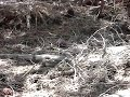 Rattle Snake Eating Squirrel Video