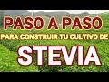cultivo stevia en Colombia  Guadalupe   Antioquia