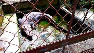 Bathing and feeding crocodile (Thay nước và cho cá sấu ăn)