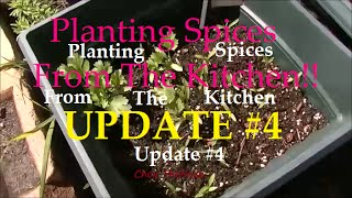 Planting Spices From the Kitchen Update #4