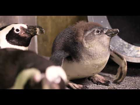 African Penguin Chick Name and Sex Reveal thumbnail