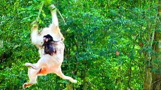 Cruel Mum Drop Down From Tree With Baby Cos Fighting TS136 Mono Pueblo