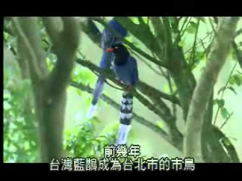 【陽明山國家公園管理處】台灣藍鵲的故事-長尾陣