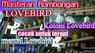 ROMBONGAN LOVEBIRD KOLONI [cocok untuk masteran mental lovebird]