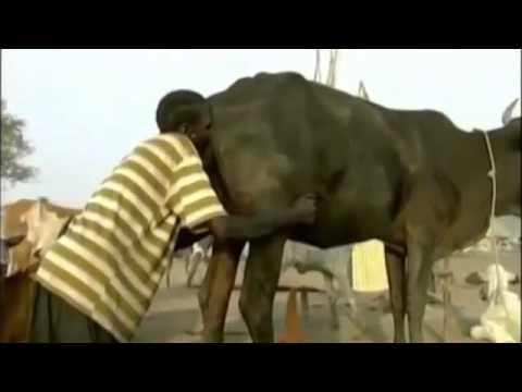 This Is How To Force Cows To Produce Milk In Africa video