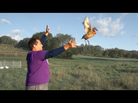 Can farm ducks fly?