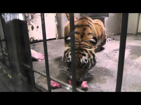 2011年5月22日 釧路市動物園 アムールトラのチョコ