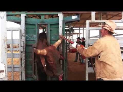 Cattle Mustering Wild West Style.