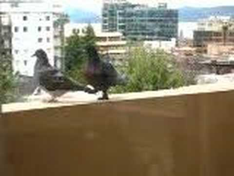 Pigeon Porn video