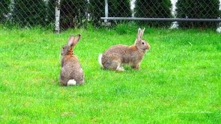 All rabbit breeds