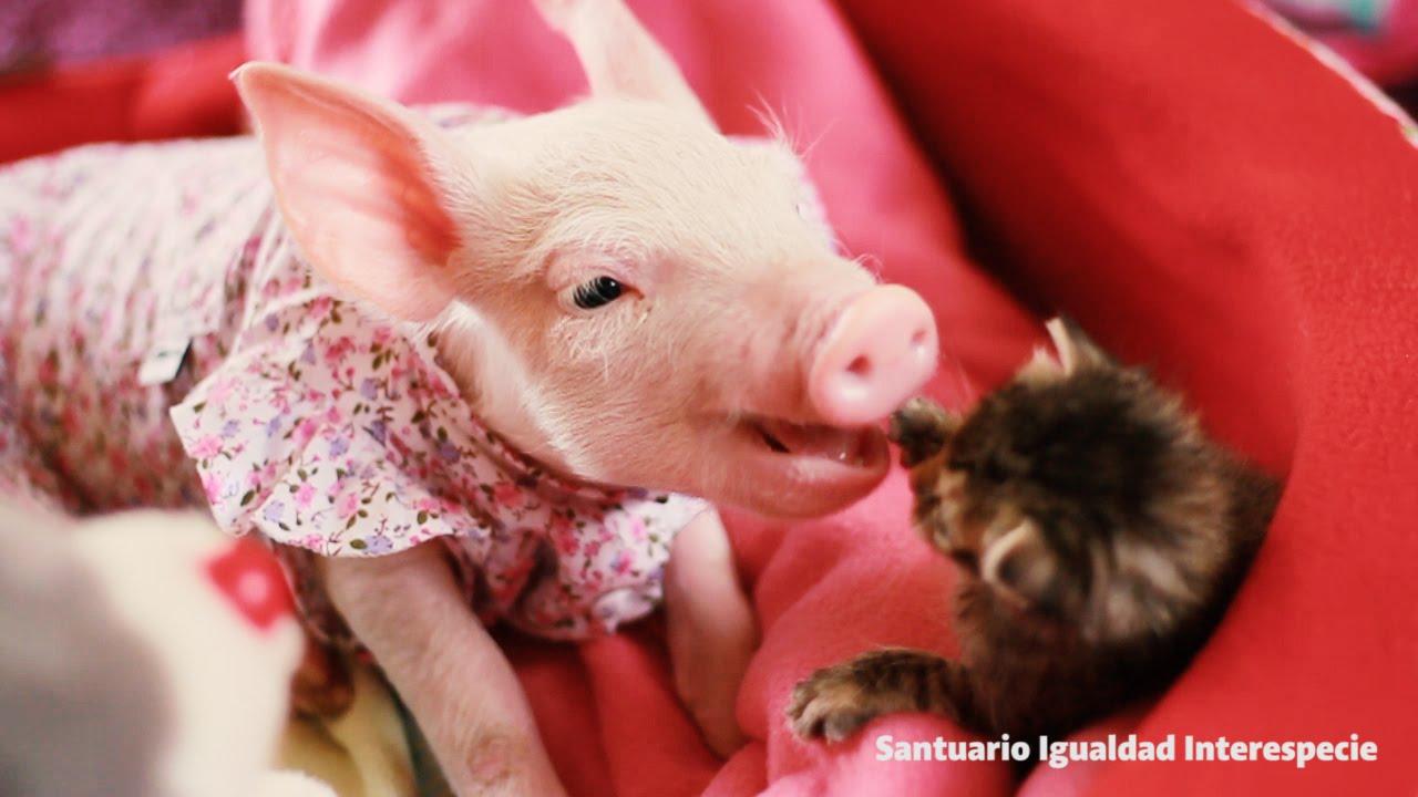 A vágóhídról megmentett kismalac imádja ölelgetni a cicabarátját - videó