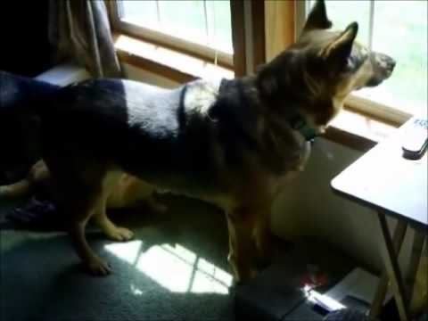 german shepherd natural guard dog protecting home   youtube