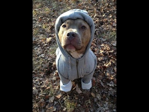 Top 10 Sexiest Pitbulls with Clothes on :)  :)